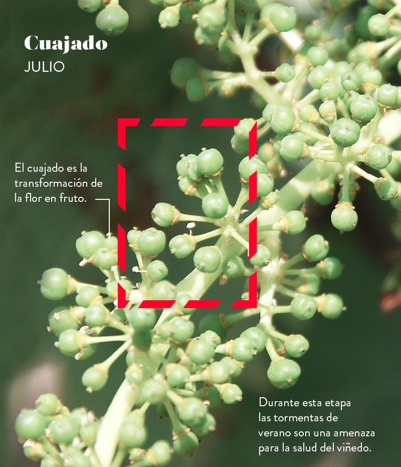 Ciclo vegetativo de la vid: cuajado